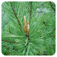 Den Grove - Pinus sylvestris - 10 ml