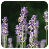 Spijklavendel - Lavandula latifolia - 10 ml