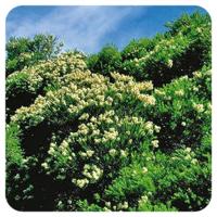 Tea-tree- Melaleuca alternifolia - 10 ml