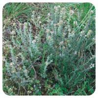 Tijm geraniol - Thymus vulgaris geraniol - 5 ml