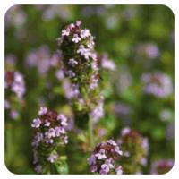 Tijm ct thujanol - Thymus vulgaris ct thuyanol -  5 ml