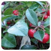 Wintergreen - Gaultheria procumbens - 10 ml