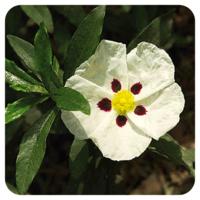 Zonneroosje - Cistus ladaniferus - 5 ml