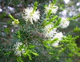 Rosalina - Melaleuca ericifolia - 10 ml