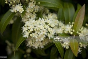 Backhousia citriodora - 10 ml