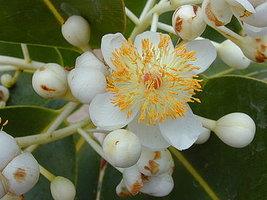 Callophyllumolie - Callophyllum inophyllum - BIO