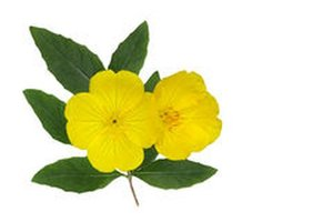 Teunisbloemolie - Oenothera biennis BIO