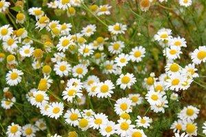 Kamille - Matricaria Chamomilla  - Bio