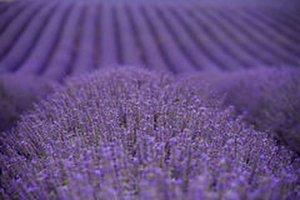 Lavendel - Lavendula officinalis