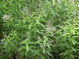 Citroenverbena - Lippia citriodora kunte - BIO