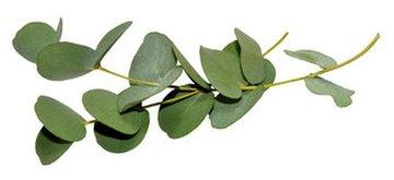 Eucalyptus - Eucalyptus globulus - BIO