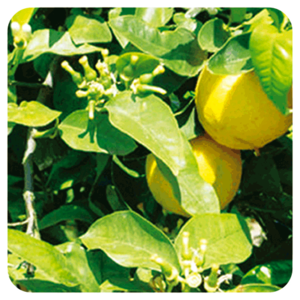Bergamot - Citrus Bergamia BIO - 10 ml