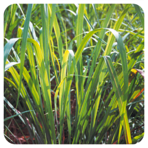 Citronella Javaanse - Cymbopogon winterianus BIO - 10 ml