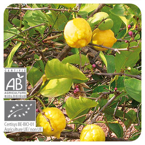 Citroen-  Citrus limon  BIO - 10 ml