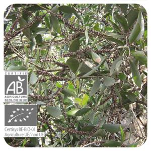 Cajeput- Melaleuca cajuputii  BIO - 10 ml
